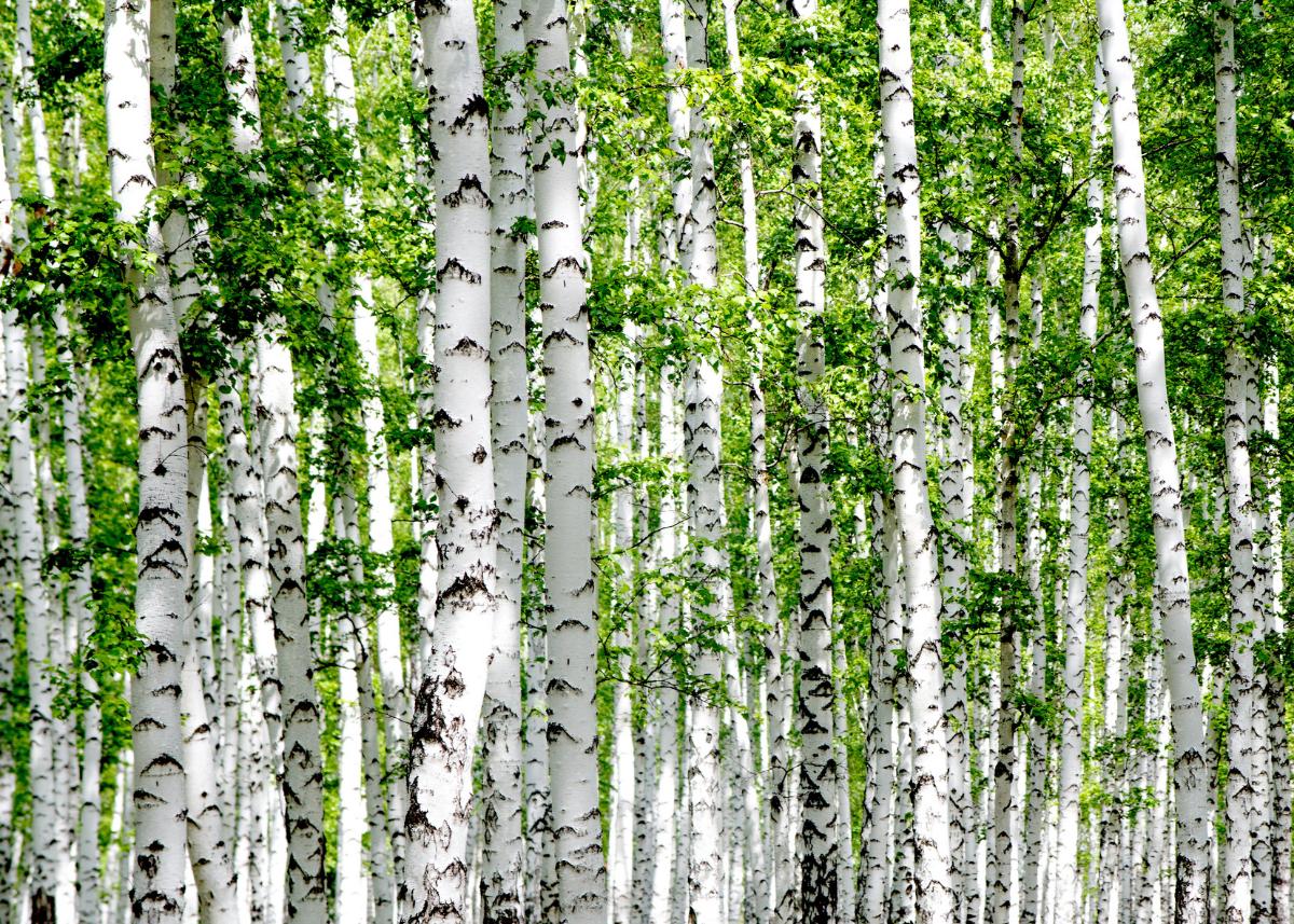Puu Ilmastovaikutus On Merkittävä